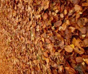 Fallen leaves on the ground, a typical image of autumn puzzle
