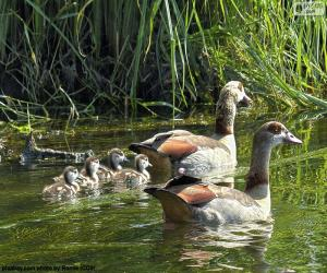 Family of Egyptian goose puzzle