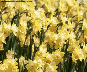 Field of Narcissus puzzle