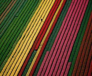Field of tulips in Holland puzzle