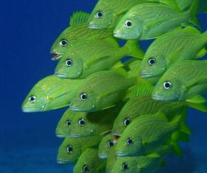 Flock of Green fish puzzle