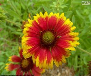 Flor Gaillardia pulchella puzzle