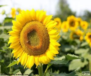 Flower of sunflower puzzle