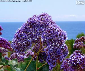 Flowers of Limonium perezii puzzle