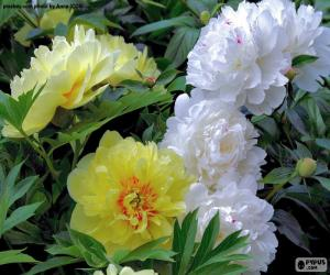 Flowers of peony puzzle