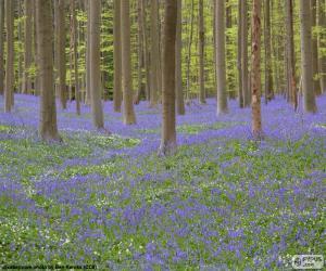 Forest Hallerbos, Belgium puzzle
