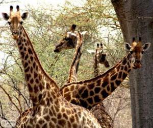 Four giraffes puzzle
