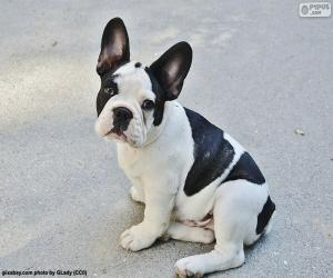 French Bulldog Puppy puzzle