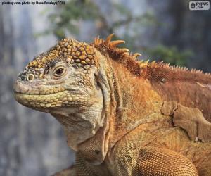 Galapagos land iguana puzzle