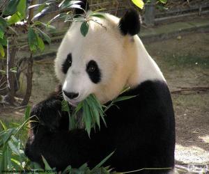 Giant Panda puzzle
