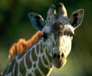 Giraffe head puzzle