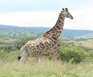 Giraffe looking at the landscape puzzle