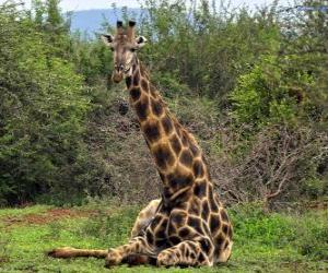 Giraffe resting puzzle