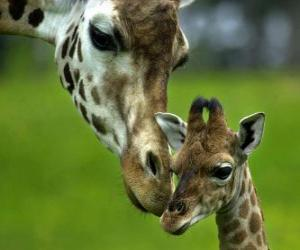 giraffe with her baby puzzle