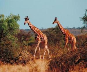Giraffes walking puzzle