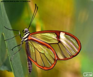 Glasswing butterfly, Greta oto puzzle
