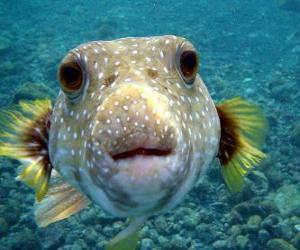 Globefish puzzle