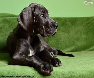 Great Dane puppy puzzle
