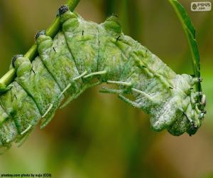 Green Caterpillar puzzle