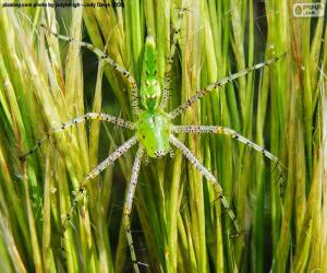 Green lynx spider puzzle