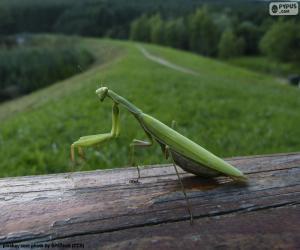 Green Praying mantis puzzle