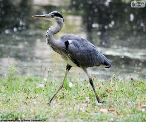 Grey heron long legs puzzle
