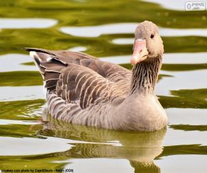 Greylag goose puzzle