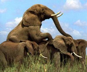 Group of elephants, large teeth puzzle