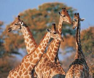 Group of four giraffe puzzle