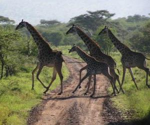 group of giraffes crossing a road puzzle