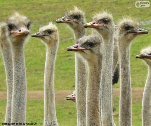 Group of ostriches puzzle