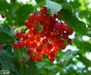 Holly with its red fruits puzzle