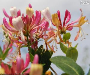 Honeysuckle flower puzzle
