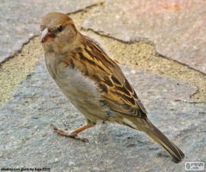House sparrow puzzle