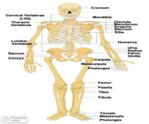 Human skeleton. The bones of the human body (English) puzzle