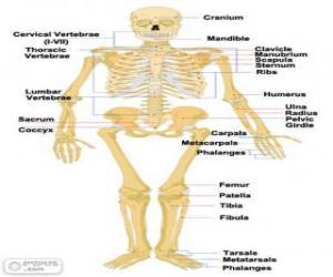 Human skeleton. The bones of the human body (English) puzzle