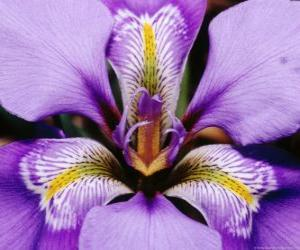 Iris puzzle