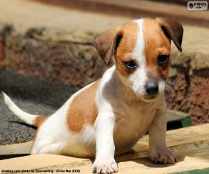 Jack Russell Terrier puppy puzzle