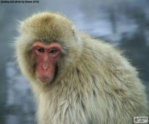 Japanese Macaque puzzle