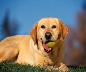 Labrador Retriever, with a ball in the mouth puzzle
