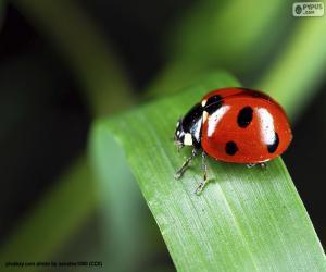Ladybirds - Ladybugs - Lady beetles puzzle