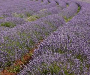 Lavender field puzzle