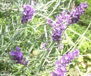 Lavender flowers with bracts puzzle