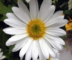 Lawn daisy puzzle