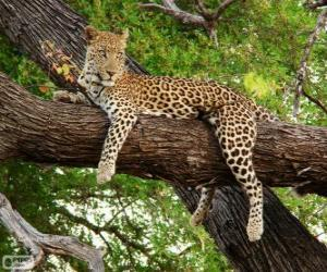 Leopard resting puzzle