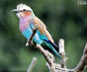 Lilac-breasted roller puzzle