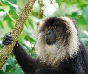 Lion-tailed macaque puzzle