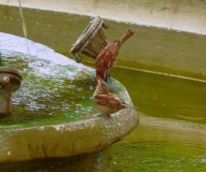 Little birds splashing in a fountain puzzle