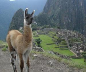 Llama, the best-known animal of the ancient Inca Empire puzzle