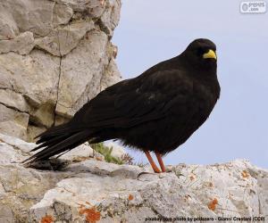 Male common Blackbird puzzle